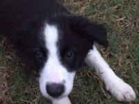 Full Blood Border Collies. 2 Black/White females.