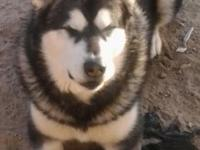 I have four 4 month old Alaskan Malamute puppies for