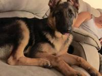 I have a male five month old German pup. He has had
