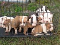 Full-blood Pitbull Pups in need of a good home. There