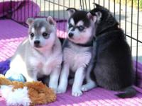I am not a breeder, this is a litter of 3 female husky