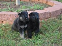 We have a litter of full blooded Akc German Shepard