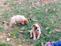 7 week old full blooded Australian Cattle Dogs. They