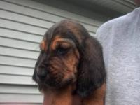 Bloodhound puppies for sale. We have 10 black and tan