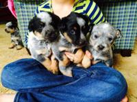 I have 3 male and 3 female Blue Heeler young puppies