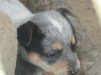 We have full blooded blue heeler puppies for sale. The