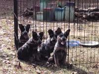 Full Blooded Blue Heeler Puppies born Sept 12, 2015 and