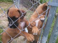 I have 2 complete blooded female fighter puppies left