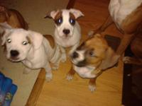 I have 4 complete blooded Boxer girls new puppies for