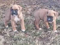 i have 1 male boxer puppies 200.00 UTD tails docked &