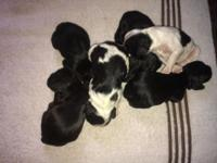 I have 6 American cocker spaniel puppy's born sept. 7,