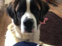 I have a 10 month aged female Saint Bernard ... I've