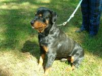 We are now breeding ZENA our other German Rottie with
