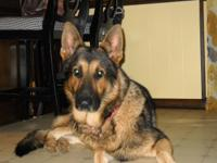 "Full Blooded German Shepherd Pups for Sale $600- ""Jake"""