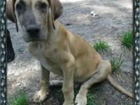 4 month old Great Dane male. Born March 18. Up to date