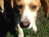Full blooded male beagle. His name is Chapman, very