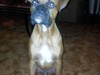 Beautiful full blooded male boxer pup, named Max. He is