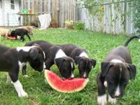 We have 7 full blooded pitbull puppies. Their mom is a