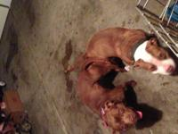6 FULL BLOODED CHOCOLATE REDNOSE PITBULLS. 4 MALES, 2