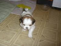 we have 4 female full blooded shih tzu puppies born on
