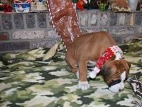 Red white bobtail boxer pups 1st vaccination given,