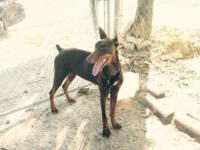 Full breed red female doberman, $450. Almost 10 mo old,