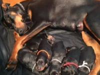Both parents are black rust dobermans, all puppies are