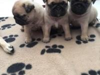 i have available Pug puppies ready to go to new homes