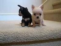 I have two short haired male puppies that were born on