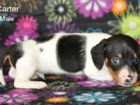 I have three Dachshund young puppies available for