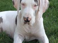 Imported Blue Harlequin Great Dane female from multi