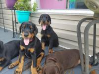 100% Full European Doberman Puppies available for sale.