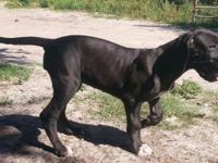 Remmington Danes offers full European puppies to only