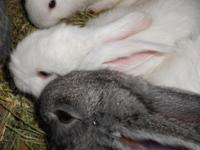 Flemish Giant Bunnies Bunny Rabbit Rabbits Both sets of