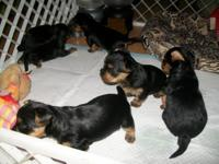 ull Pedigree Yorkshire Terriers,all very small ,cheeky