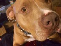 Blonde, Male, 3 year old Pit-Bull. Neutered,