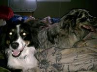 Purebred Australian Shepherds out of Farm/Family Stock.