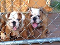Full AKC reg Bulldogs, Micro chipped, home, crate,