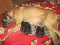 Great Dane puppies born Thanksgiving Day. Beautiful!. .