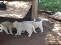 Full Blood Great Pyrenees Puppies 6 weeks old  They