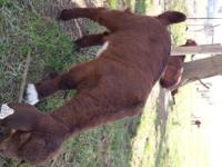 Available for sale are three full boer goats. Two buck,