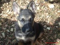 Adoreable German Shephard Puppies looking to find their