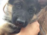 Beautiful german shepherd puppies 9 weeks old Utd on