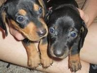 There are two males and two females all black and tan.
