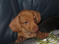 Fullblooded mini dachshund. Previous person who placed