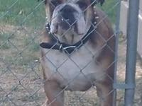 Available is a 1 year old AKC registered Male English