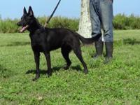 Fully trained 22 months old male black Malinois in open