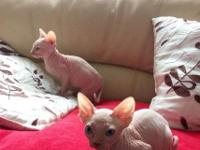 2 sphynx kiitens to be rehomed forever homes. GCCF