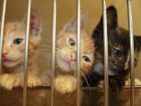 St. Louis Pet Rescue has many adult cats and kittens