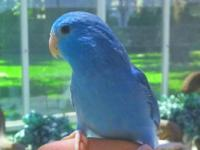 This is a satisfied and fun parrotlet female will
